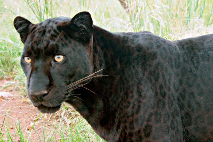 black leopard - Google Search | Animals One of my loves ... - photo#15
