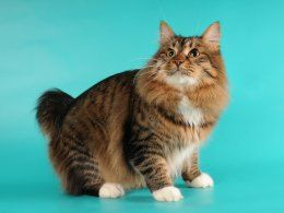 12 Large Cat Breeds That Make Lovely Pets   Pets4Homes