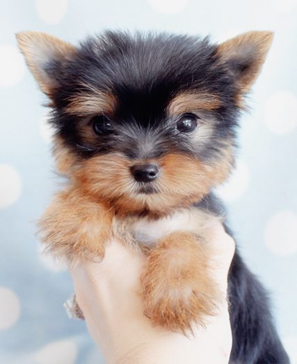 Adorable Yorkie Puppy For Sale in South Florida... He shares my birthday. I need him!!!