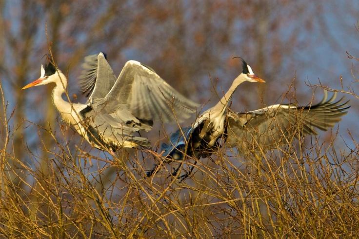 Airone Cenerino  #Mantova #Mantua #Italia #Italy #natura #nature #fiume #river #animali #animals #oglio #po