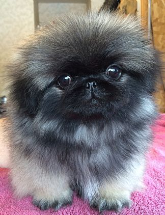 Pekingese Puppies Pet Dog Puppies For Sale in Lake George, NY A00006   Want Ad Digest Classified Ads