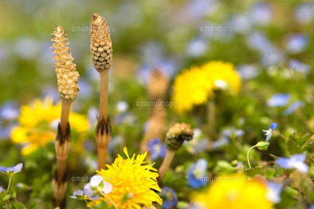 01466010305 jpg 640 425 つくし 綺麗な花 シダ植物