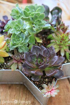 Watering succulents and how to rehydrate the soil as part of the essential care guide