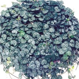 rosary vine one of over 400 varieties from exotic angel plants over 400 different foliage. Black Bedroom Furniture Sets. Home Design Ideas