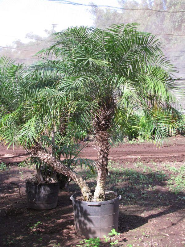 Oltre 25 fantastiche idee su piante in vaso su pinterest - Costo palma da giardino ...