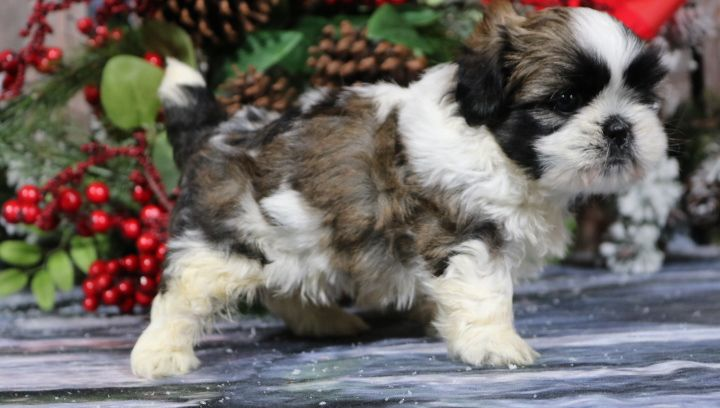 Aww Toby A Male Akc Shih Tzu Puppy For Sale In Nappanee