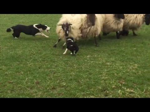 On Pup's First Day as Sheep Dog, Ram Tries to Show Who's Boss. But Watch How Puppy Responds
