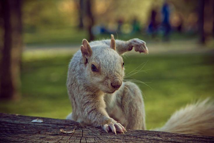 PsBattle: Squirrel in Attack Mode