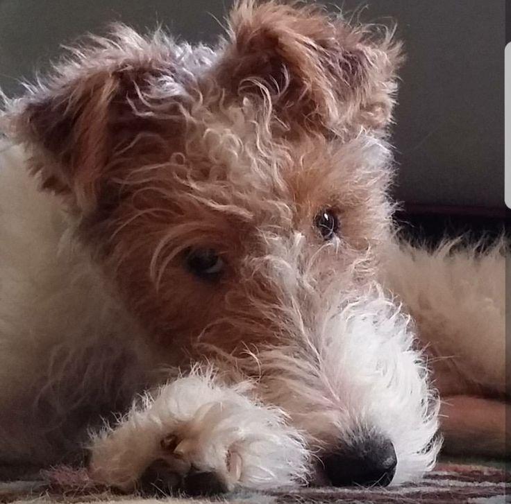 Turbo. Wire Fox Terrier