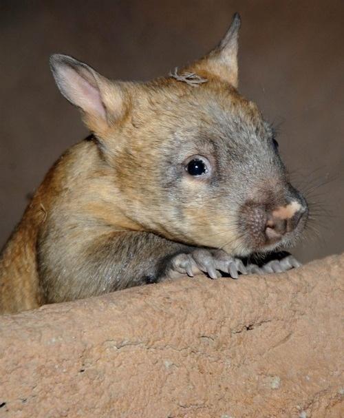 Baby Wombat: 97 Best Wombat Images On Pinterest