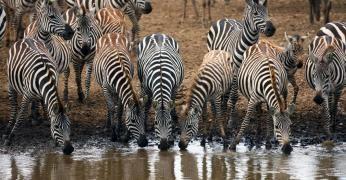 Zebraer ved Mara floden i Kenya