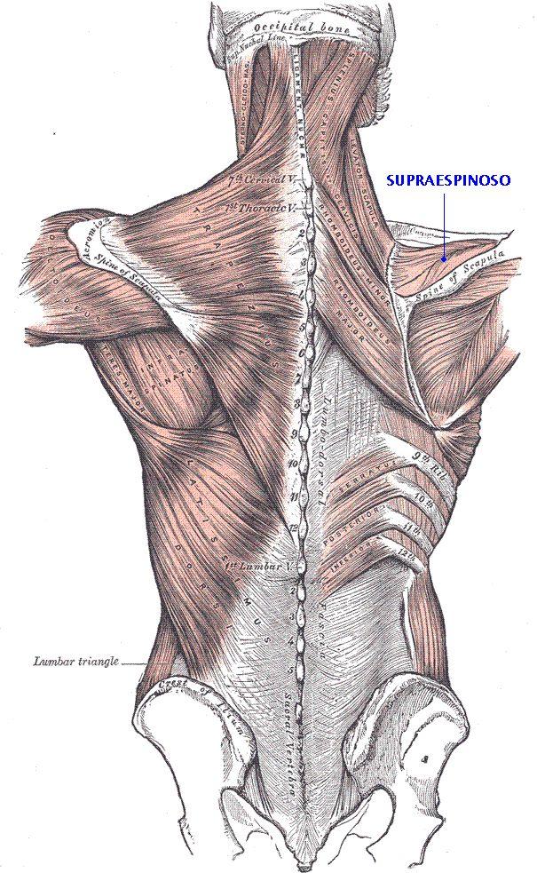 Sistema muscular: Musculos del hombro