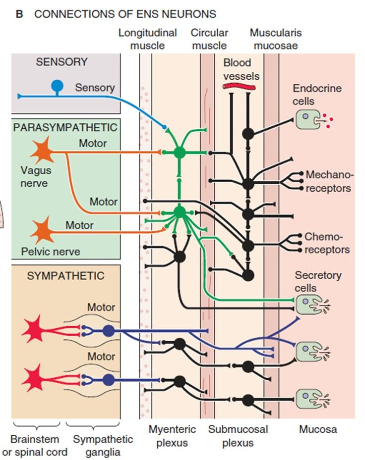 Image result for location of the ENTERIC NERVOUS SYSTEM