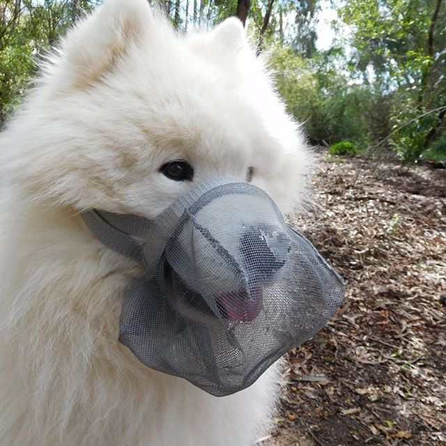 Illi modelling the Grey Smuzzle™ and looking very handsome (if we do say so ourselves)  The Smuzzle™ is a muzzle alternative that allows dogs to pant and drink! See the link to our #etsy store in the description for more information.  #muzzle #softmuzzle #etsyshop #etsyseller #etsyfinds #petcare #pickoftheday #bestoftheday #loveyourpets #petstagram #pets #instadogs #instagoods #doglife #samoyed #samoyedsofinstagram #samoyedsmile #webstagram #bekindtoanimals #handmade #etsyaustralia #etsywin…
