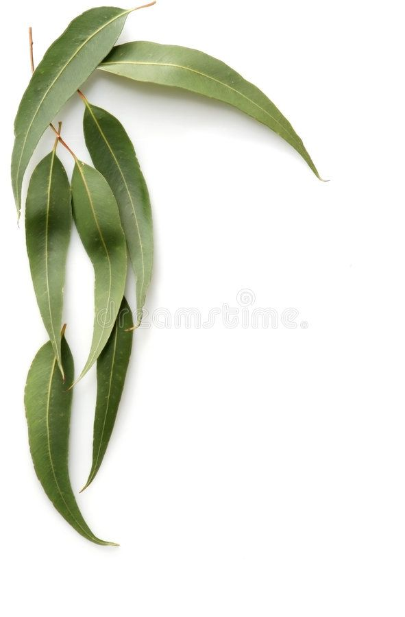 Gum Leaves Gum Tree Leaves Form A Border Against A White Background Ad Tree Leaves Gum Leaves White Ad Tree Leaves Leaves White Background