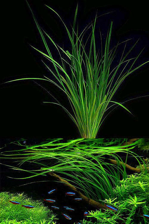 Endless List Of Favorite Aquatic Plants 16 Cyperus Helferi Photos By Extraplant De First Picture And Flowgrow Second