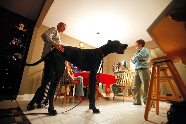 World's tallest dog Zeus - in pictures