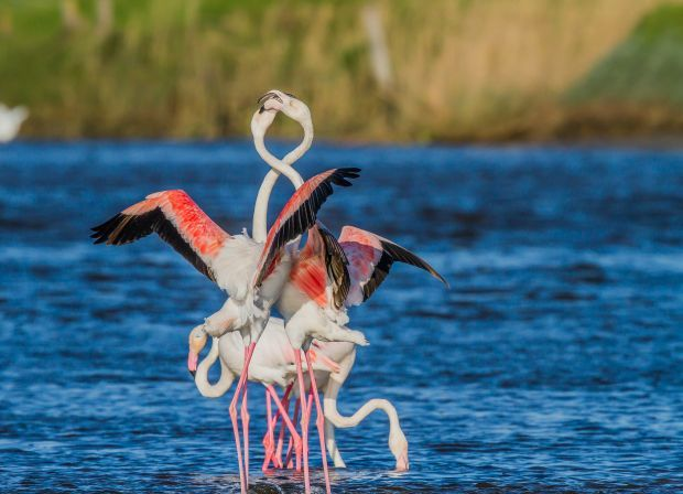 Greater flamingos, South Africa