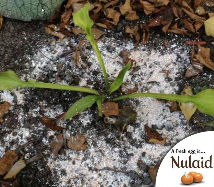 #TuesdayTip: Crushed eggshells sprinkled around your flower beds or veggie gardens will prevent slugs from crossing plus cats don't like them either. Crushed eggshells also provide a nice calcium supplement for vegetable beds. #Nulaid #Recycle #farmfresh