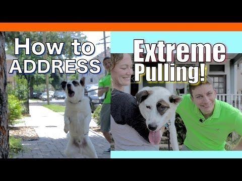awesome  How to Train your Dog to NOT PULL on a Leash! EXTREME LEASH PULLING, BARKING, LUNGING and JUMPING!