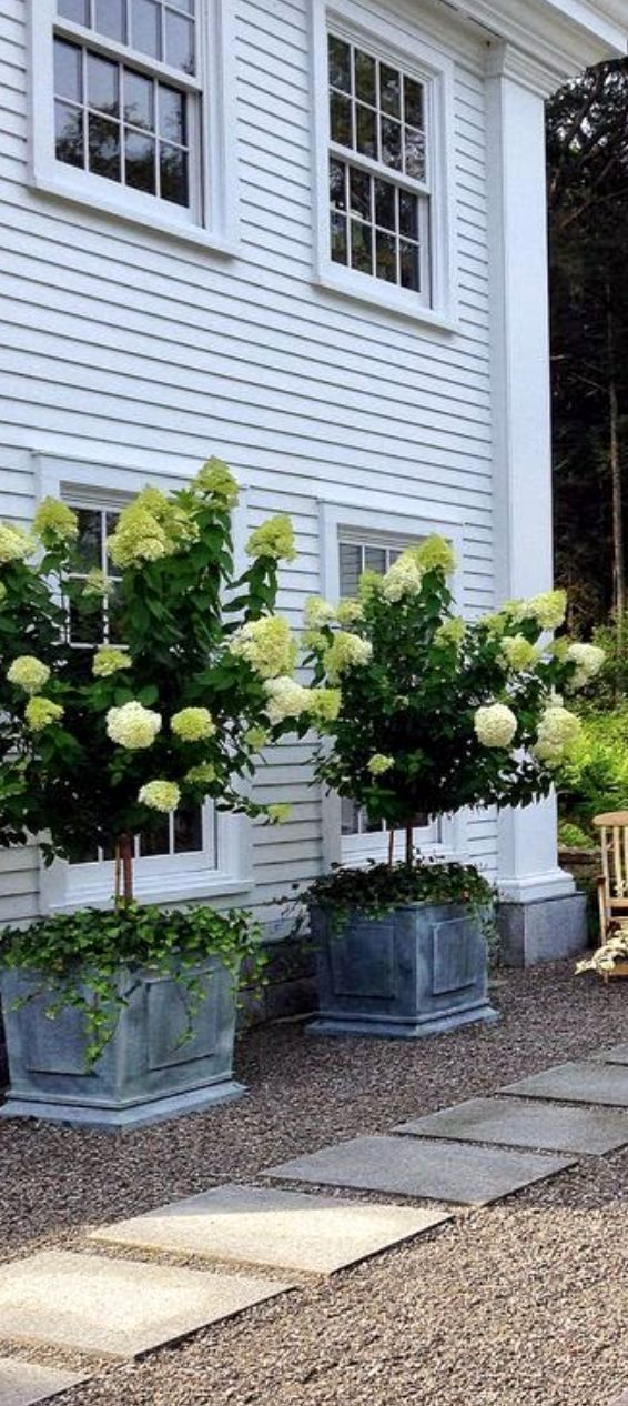 Hydrangea paniculata 'Limelight', grandes fleurs blanches teintées… # jardin pour commencer