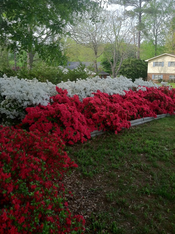 Mejores 492 im genes de garden flowers azaleas en pinterest flores bonitas poder de la flor - Cuidado de azaleas en interior ...