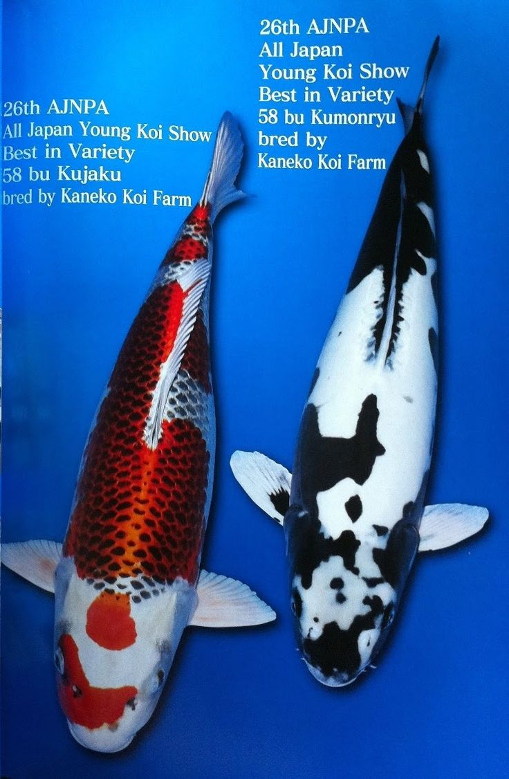 151 best images about koi on pinterest for Dragon koi fish for sale
