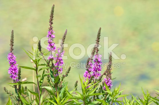 Fackelblomster  closeup of a flowering purple loosestrife royalty-free stock photo