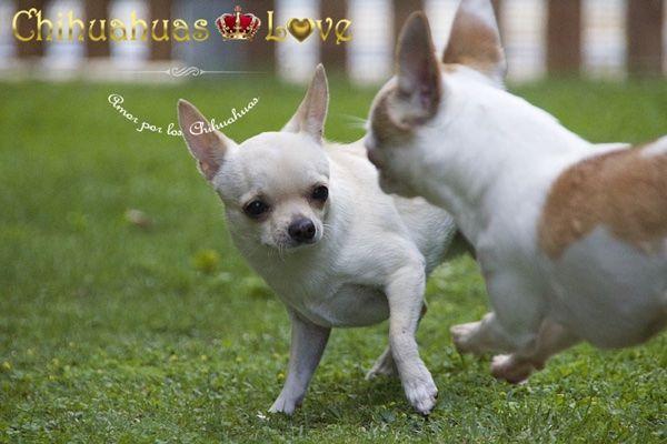 Chihuahuas Love - Raza Chihuahua. ¿Se Extrañan Los Perros Chihuahua?
