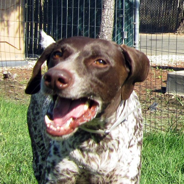 Guinness was turned into a Sacramento area shelter because his owner was moving. At six years old, your chances aren't good of being adopted especially given the short amount of time shelters are required to hold animals. Fortunately for Guinness, he had two rescues working together to save him. Yesterday, working together, NorCal GSP Rescue …