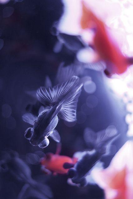 Japanese goldfish, Kingyo