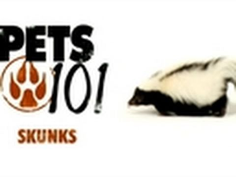 Pets 101- Pet Skunks - YouTube