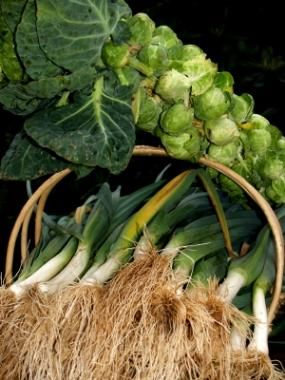 Well I have a root cellar... I might as well figure out what to put in it! Winter garden vegetables: The best producing winter garden!