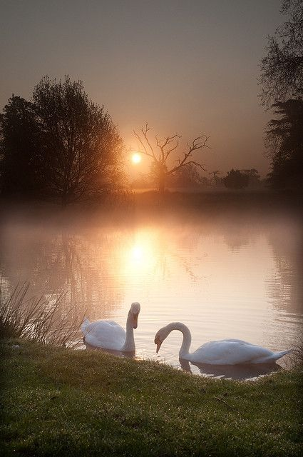 Schwäne im Sonnenuntergang
