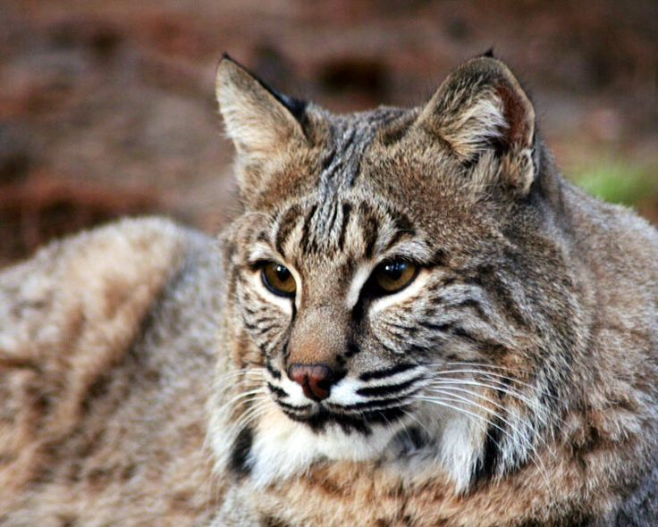 179 best images about WACKY WILD CATS on Pinterest ...