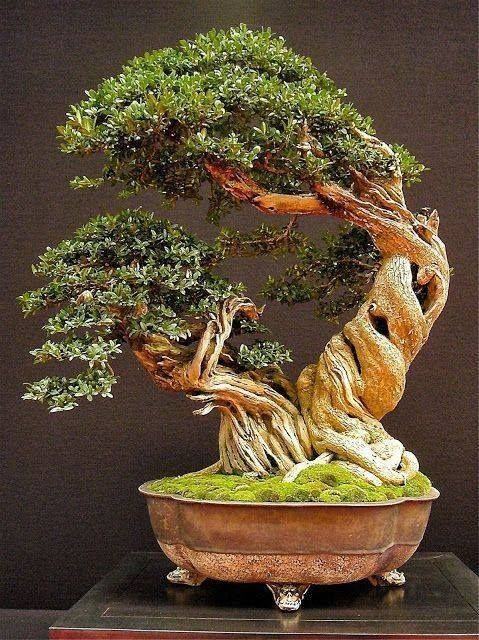 1002 best bonsai great art or tortured trees images on for Famous bonsai trees