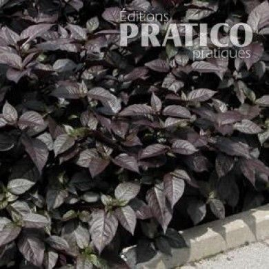 Alternanthéra 'Purple Knight' - Fiches de plante - Jardinage et extérieur - Pratico Pratique