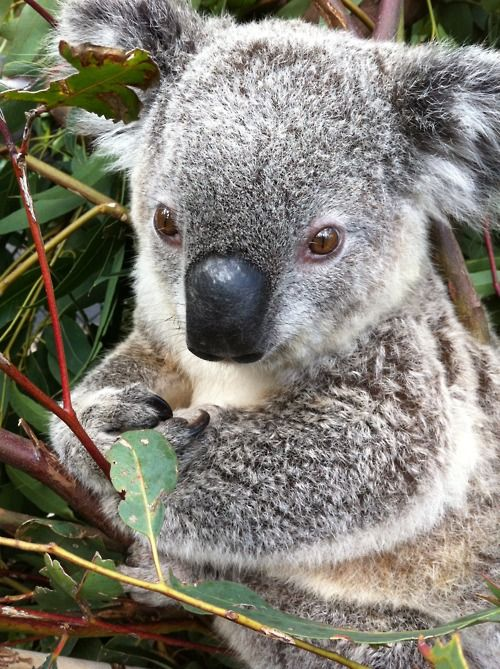 675 best images about KOALAS on Pinterest | Mothers ...