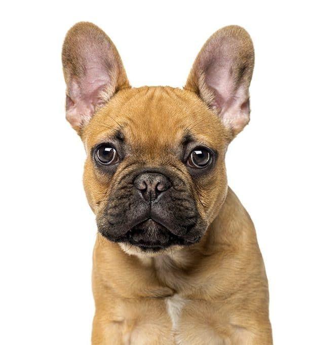 Fransız Bulldog Köpeği Özellikleri ve Bakımı