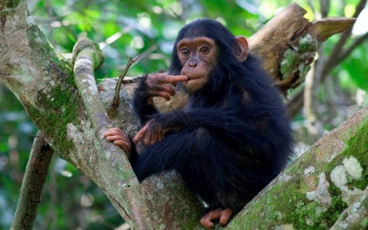 A face-to-face encounter with the endangered great #Apes in their natural habitats is a truly amazing experience. It can be only happen in #UgandaSafariTour.