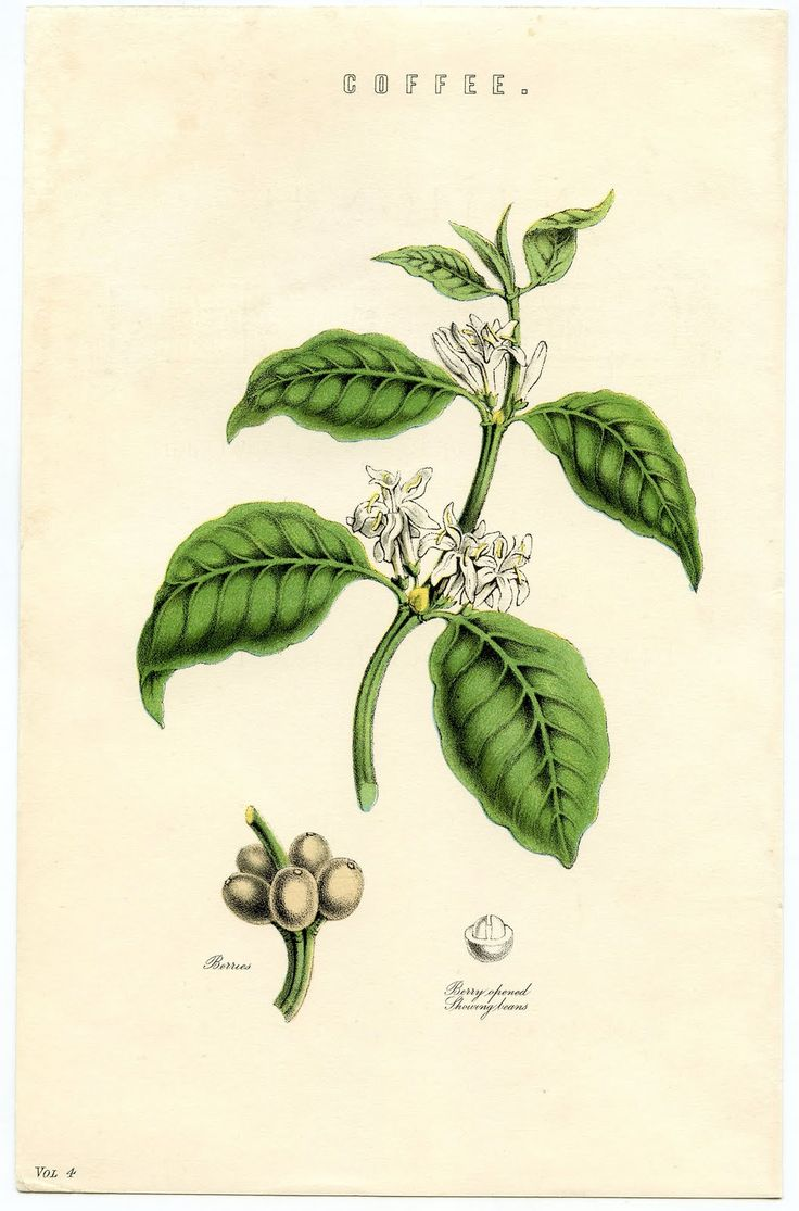 Antique Botanical Ephemera - Coffee Plant - Instant Art - The Graphics Fairy