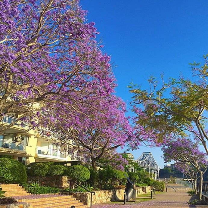 Jacarandas in South East Queensland