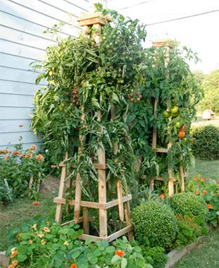 Growing tomatoes is easy if you have the right support. This super-sturdy tomato tower will give your plants the support they need to grow big, delicious tomatoes. The directions are simple and straightforward. Stronger than store-bought tomato cages, this tower is also taller than your average tomato cage, giving your nightshades the chance to reach their highest potential..