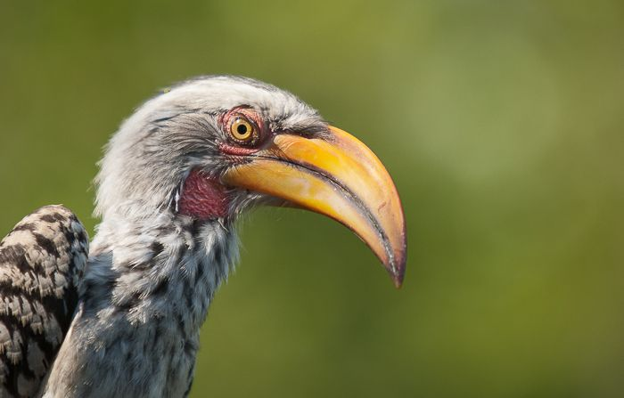 The striking contrast in colours of a hornbill is always a favourite of mine to try capture. ISO 400 F2.8 1/2500. Photograph by Trevor Ryan McCall-Peat