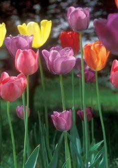me gustan muchos tipos de flores pero mis favoritas los tulipanes
