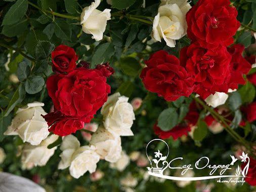 Как защитить розу? Для защиты роз от от ржавчины, пятнистости и мучнистой росы…
