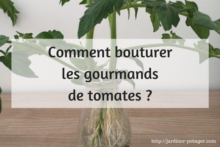 Vous souhaitez multiplier vos plants de tomates à zéro coût ? Pensez à bouturer les gourmands de tomates que vous supprimez. Méthode simple et efficace !