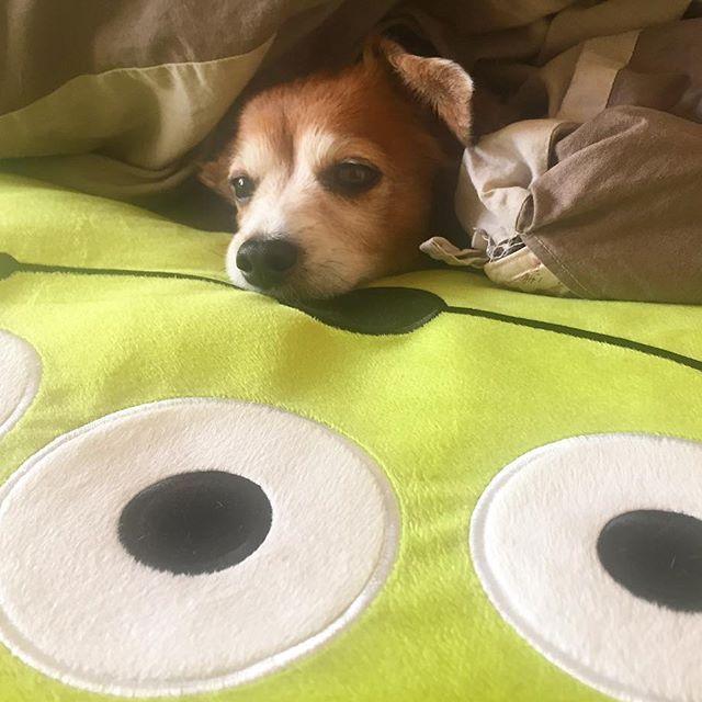 豆つぶみたい… #pero #ペロ #チワックス #ミックス犬 #mix #hybrid #dog #愛犬 #娘 #愛用 #リトルグリーンメン #枕 #pillow #love