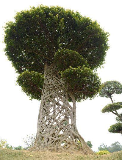Les branches noueuses d'un «toile d'araignée 'arbre (ou un figuier étrangleur) dans un parc à Nanning, Guangxi, Chine