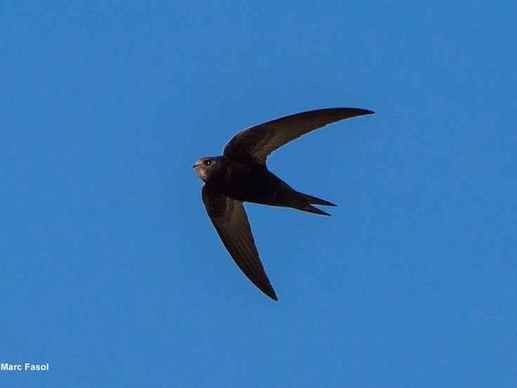 Photographie de Marc Fasol : Martinet noir (Apus apus). #ornithologie   #oiseaux   #nature